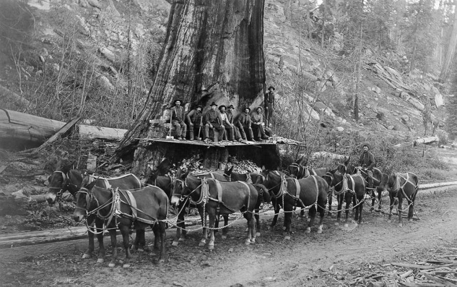 Первые поселенцы, занимающиеся вырубкой деревьев с помощью топоров с двумя лезвиями